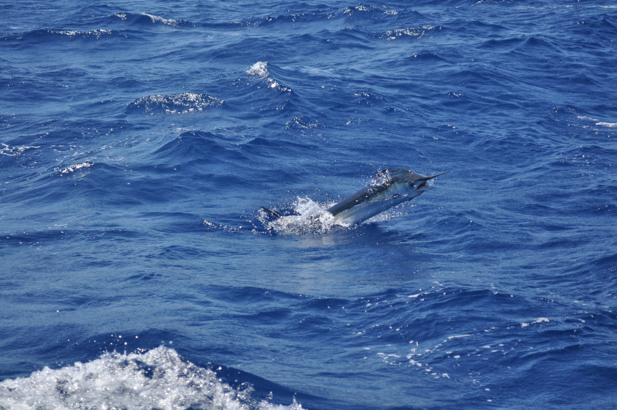 White Marlin Open to Host 47th Annual Offshore Fishing Tournament this August