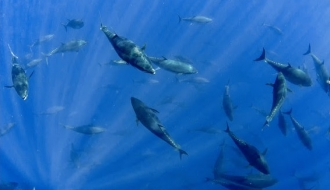 Closed: Atlantic Bluefin Tuna Angling Category Gulf of Mexico Incidental Trophy Fishery