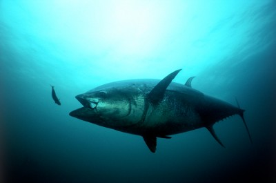 An Atlantic bluefin tuna strikes. Credit: ©Gilbert Van Ryckevorsel/TAG A Giant