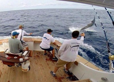 Nick Bovell wiring a Cape Verde blue marlin.
