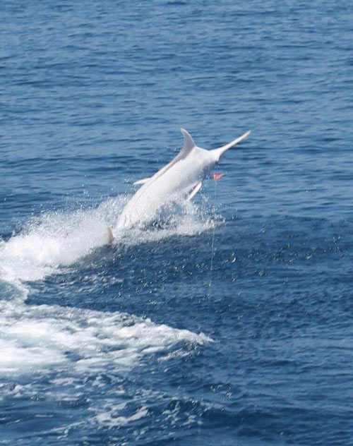 all white color blue marlin jumping