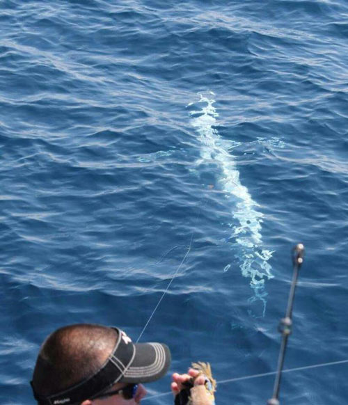 albino blue marlin just under the surface of the water