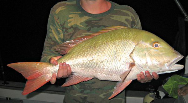 big mutton snapper web