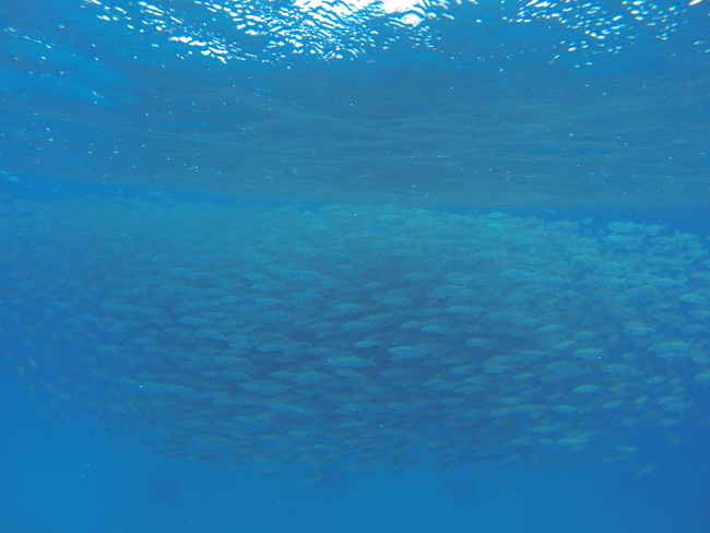 S school of bonefish at a spawning site