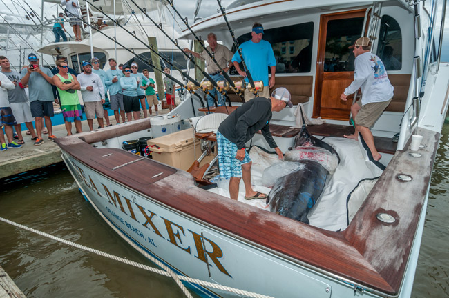 Sea Mixer unloading the 708.6 lbs. blue they caught during the 2014 Cajun Canyons Billfish Classic. photo Andy Crawford
