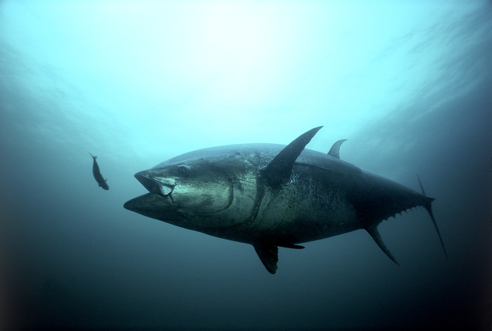 bluefin_tuna_strike