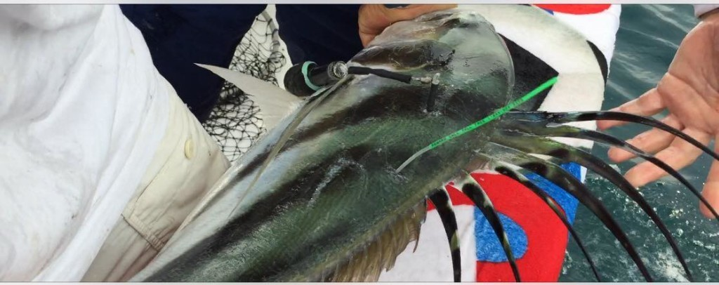 Roosterfish-tagged-First-Ever-1024x406