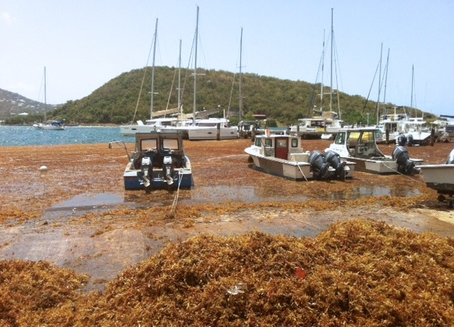 Here is sea weed(Sargassum) packed in at a marina in St. Thomas, USVI