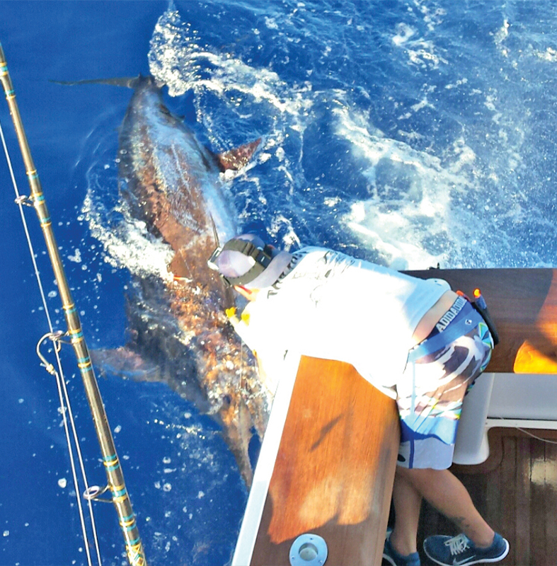 catching blue marlin on live bait