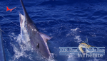 Bermuda Blue Marlin Wins 2017-2018 IGFA Great Marlin Race