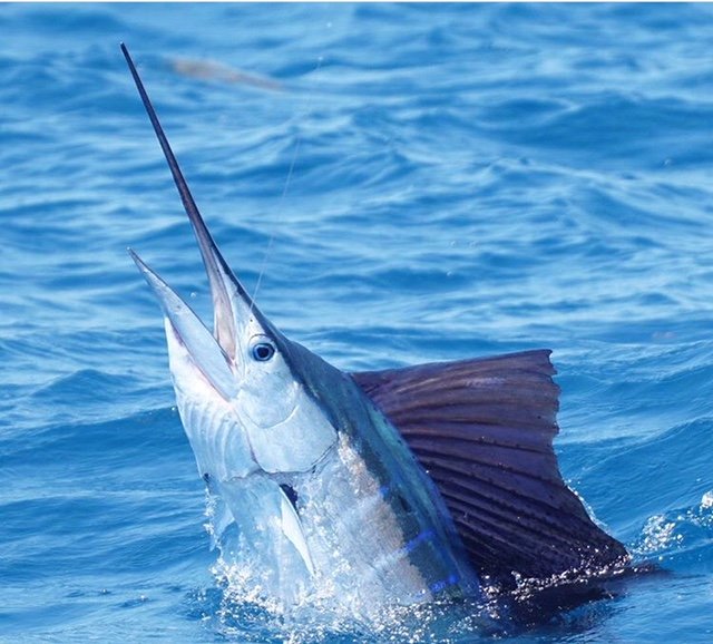 inthebite tournament kite fishing for sailfish what is the x factor