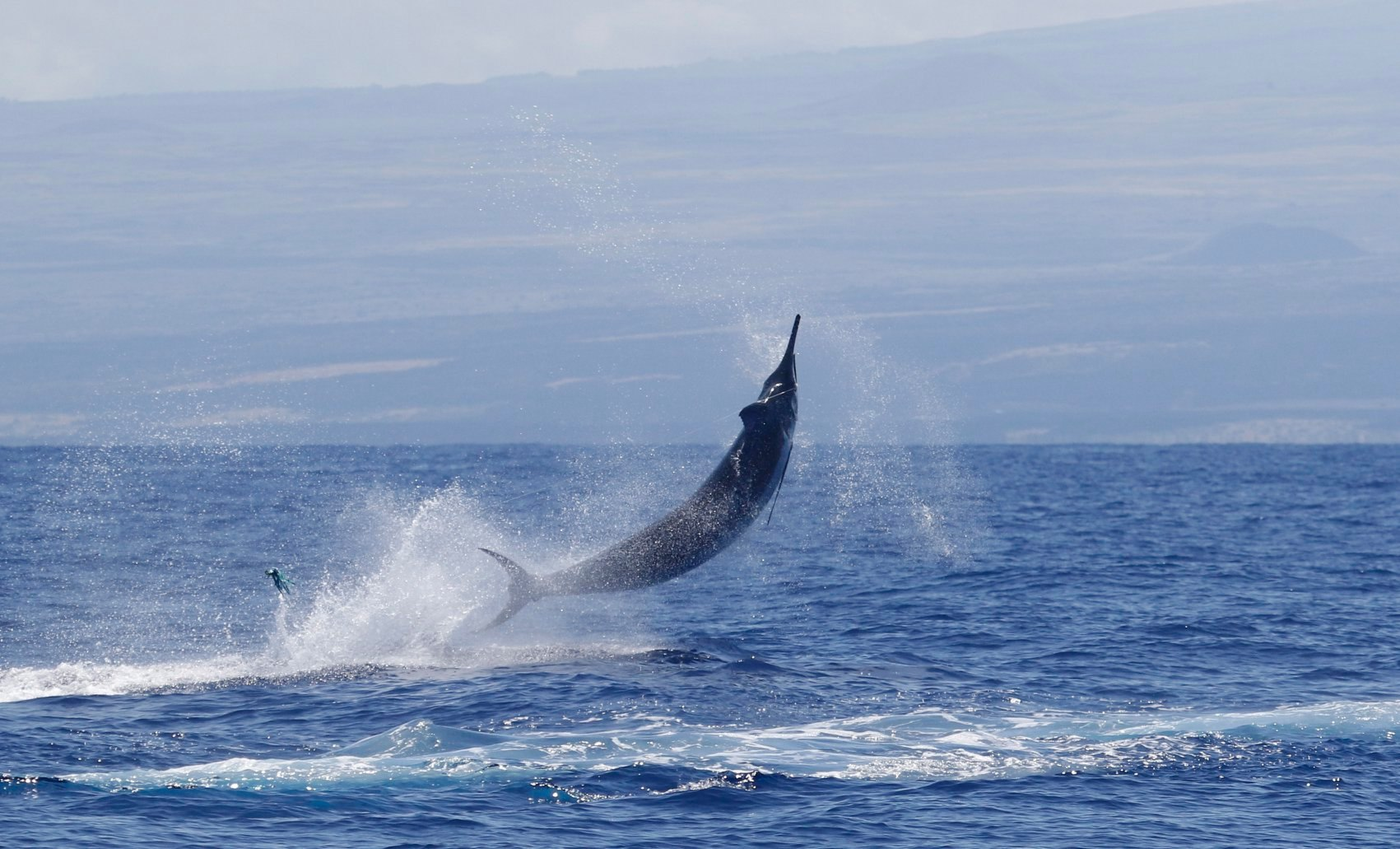 Jumping blue marlin. Grander marlin 2019 Big Island Marlin Tournament. Carol Lynne