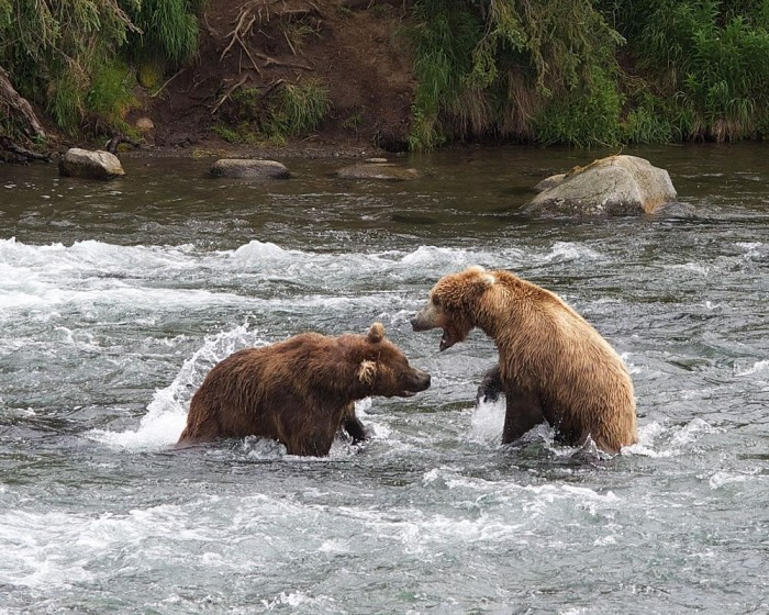 Grizzly bears fighting in Alaska