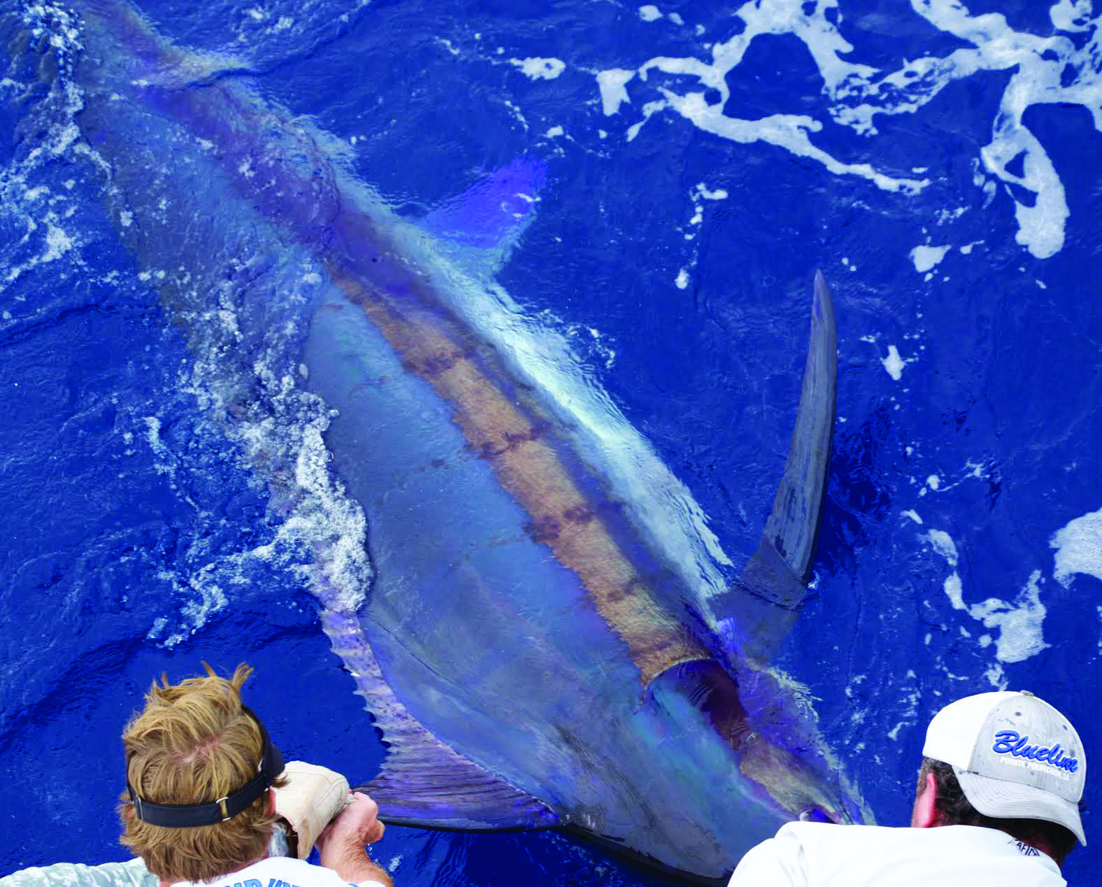 Huge blue marlin boatside prior to being released