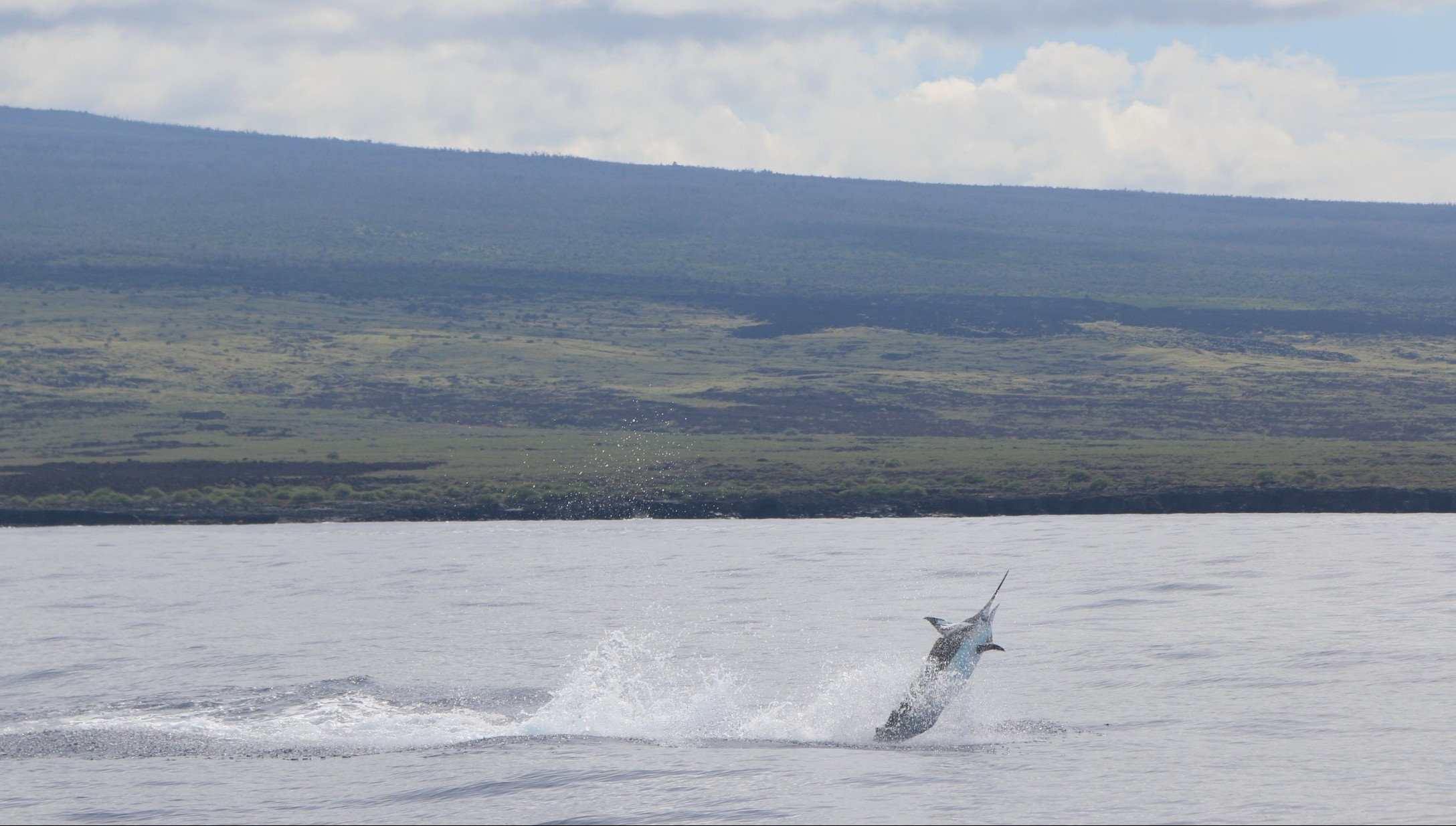 Jumping marlin off kona hawaii
