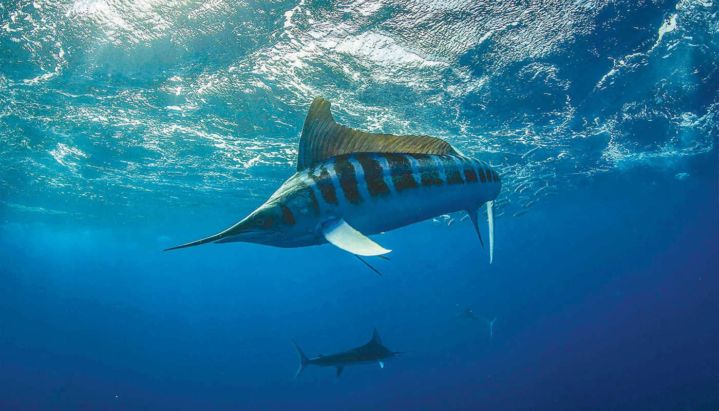 striped marlin under water