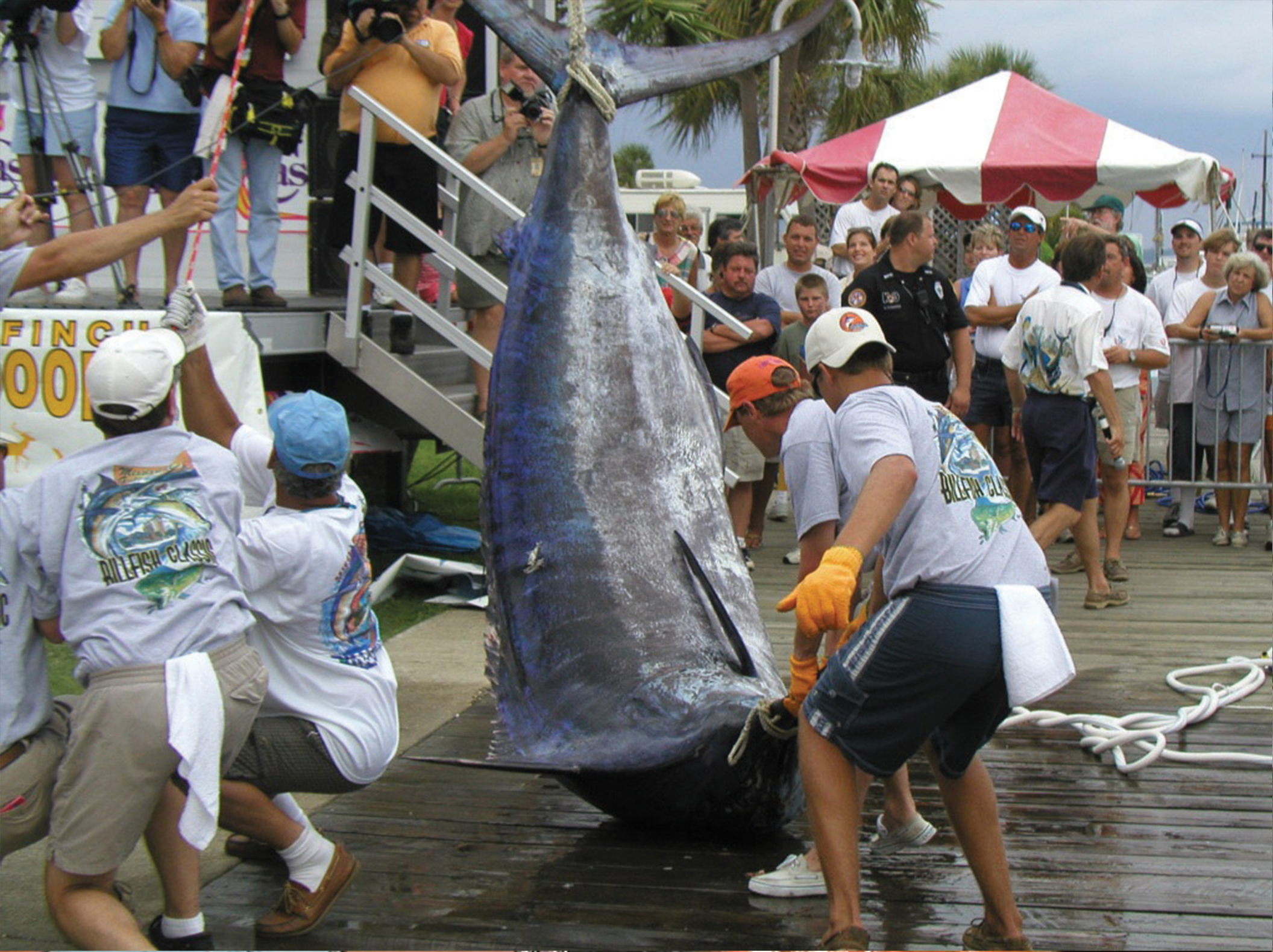 Gulf Record Blue Marlin being weighed in Biloxi, Mississippi