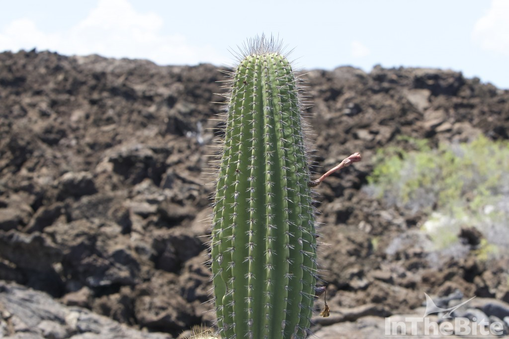 Cactus in the Galapagos