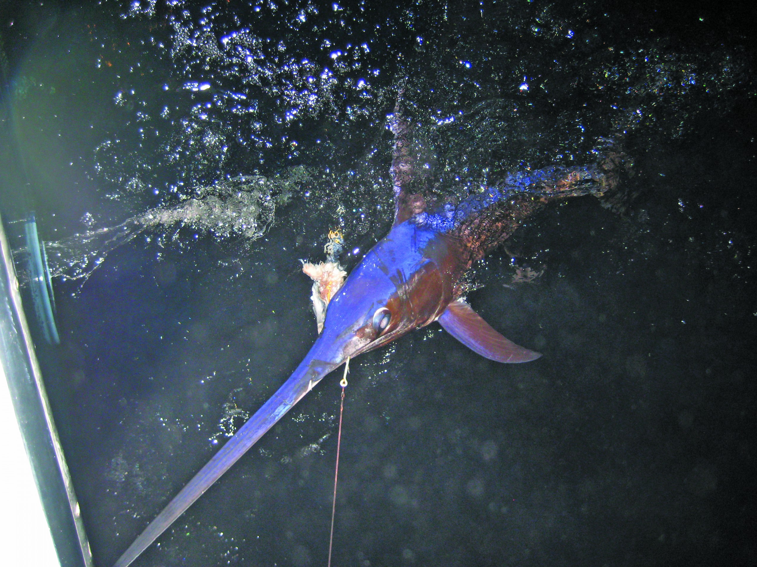 swordfish in the water at night