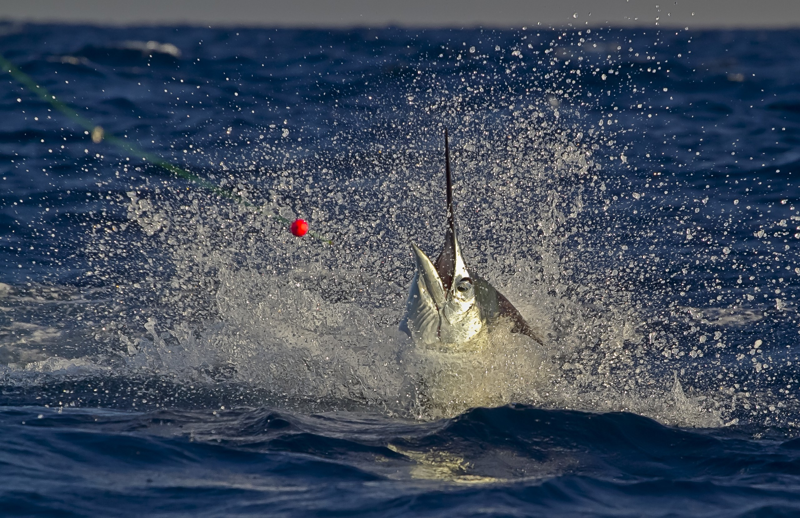 sailfish thrashing around the surface