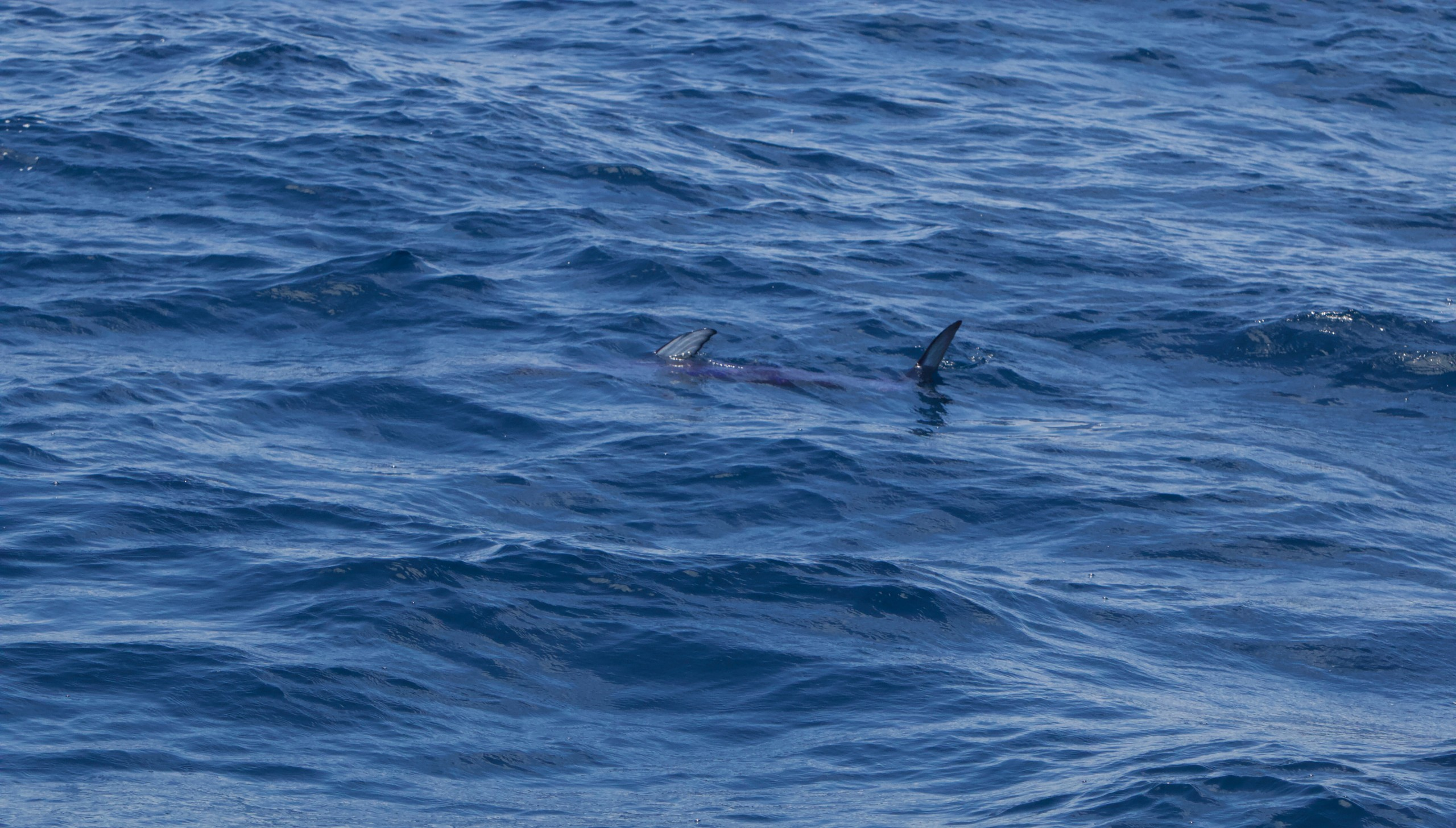 A Swordfish cruising under the surface just offshore of the islands.