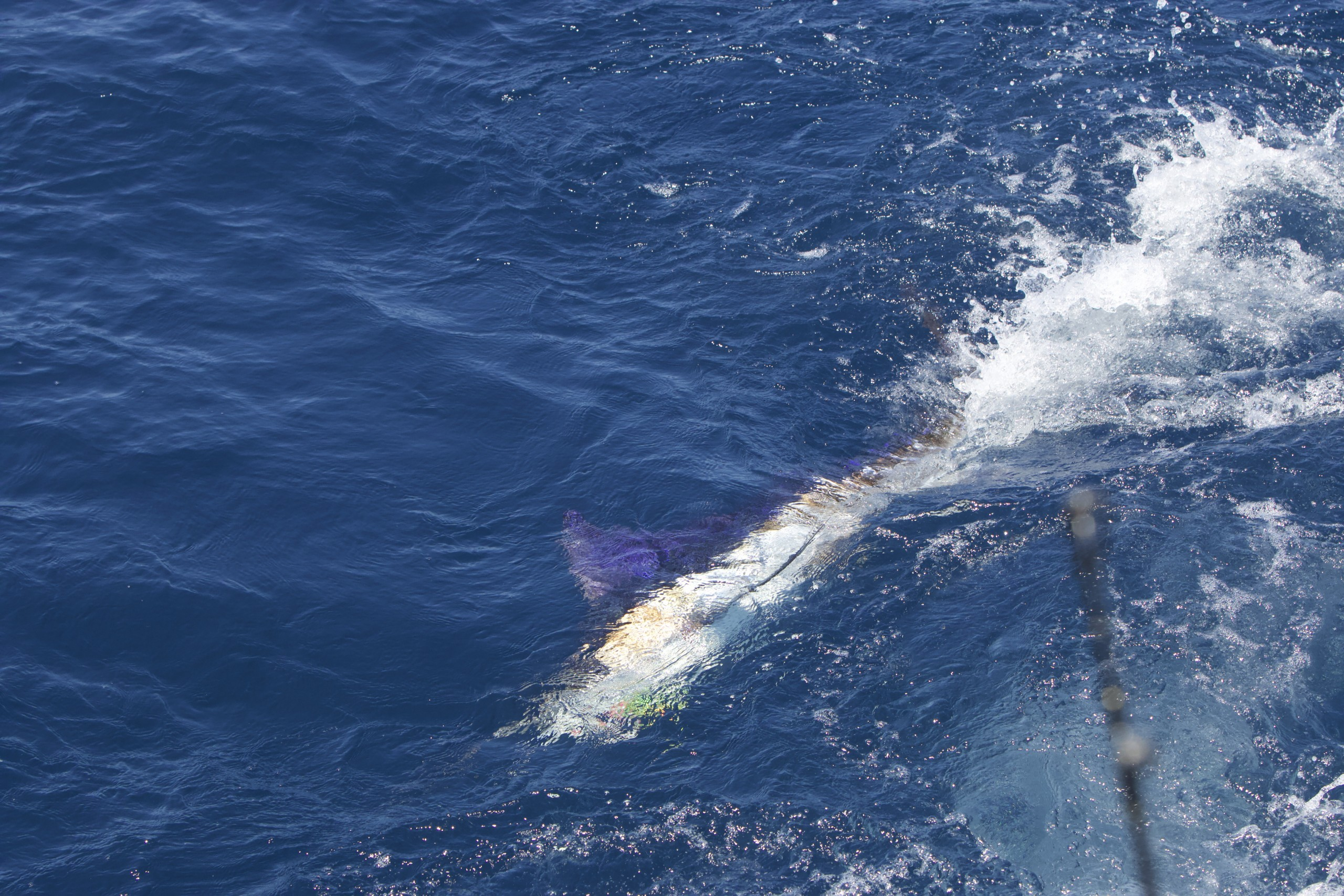 striped marlin just under the surface of the water while being reeled in