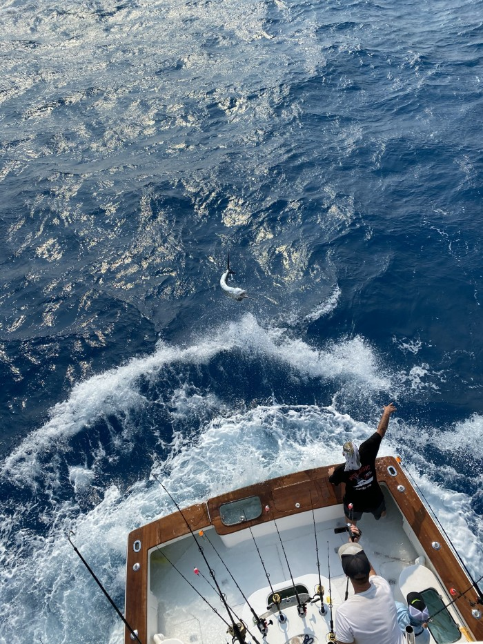 sailfish flipping on leader