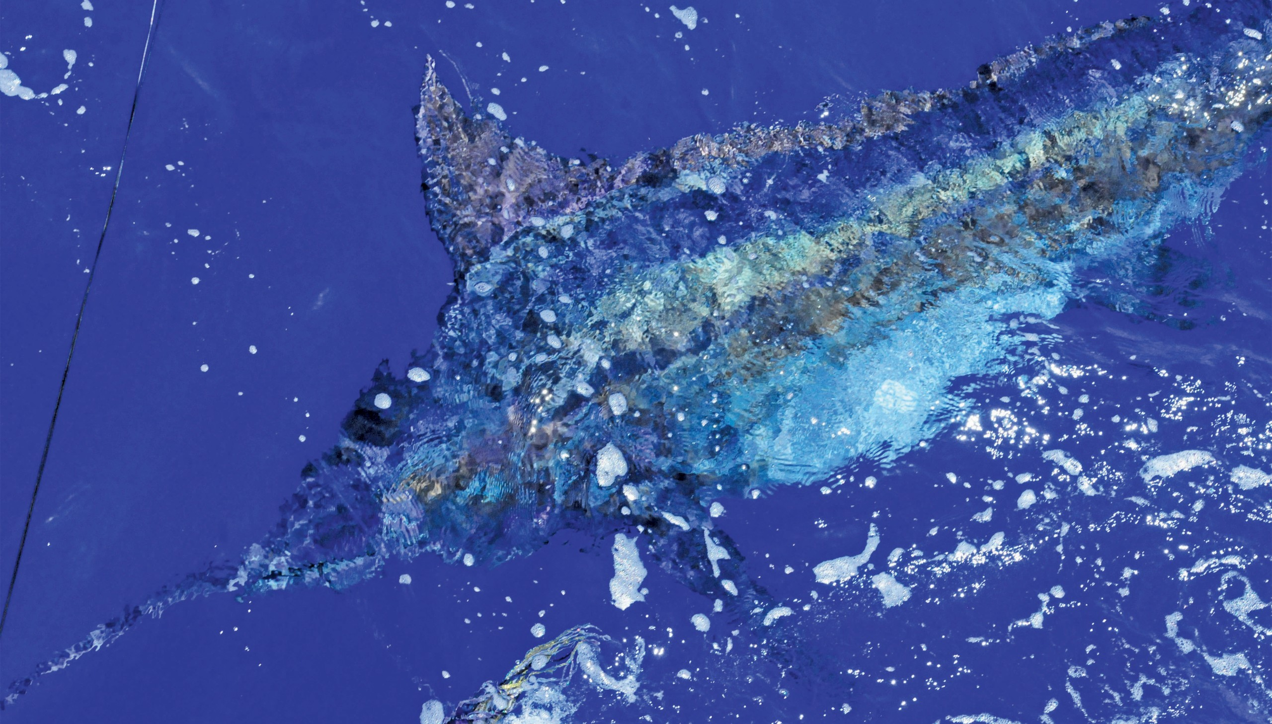 blue marlin under the water