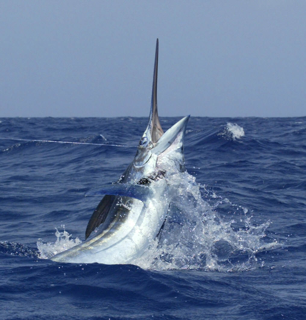 Catch and Release Only in the Atlantic Recreational Billfish Fishery for the Remainder of 2020