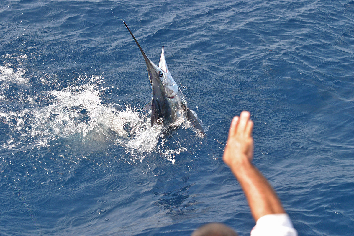 marlin jumping in water